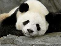 Cuddly alert: Panda-cam