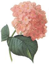 Flower of the week: Hydrangea