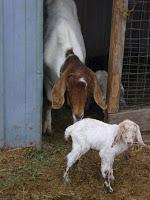 Weekend Round-Up: Goat Husbandry