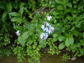 Things I Love Today: Forget-me-nots