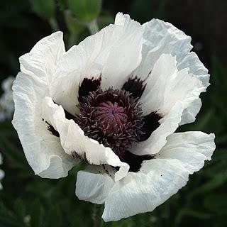 Black & White Ball: Poppy