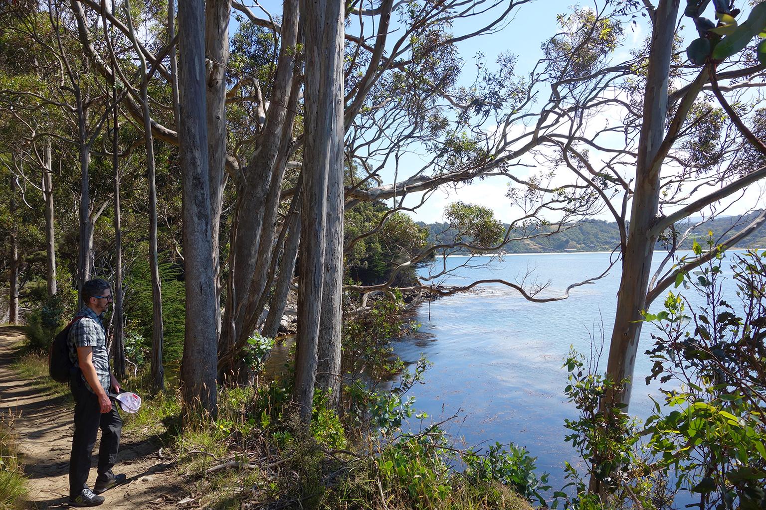 Eucalyptus Stuart Island