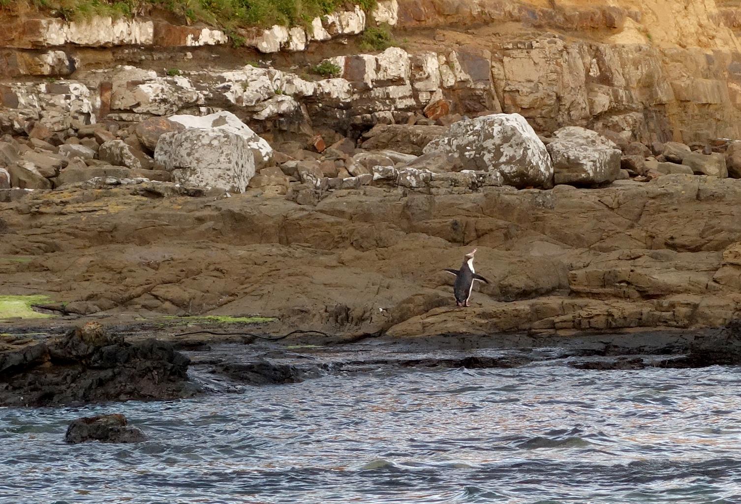 Penguin spotting in Curio Bay, NZ