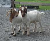 Yay for goats