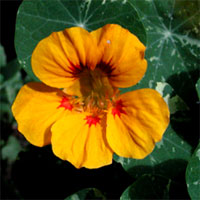Flower of the week: Nasturtium