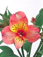 Flower of the week: Alstroemeria
