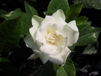 Flower of the week: Gardenia