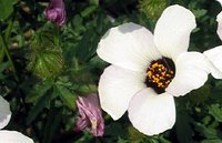 Flower of the week: Hibiscus