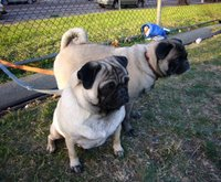 Things I love today: Pugs!