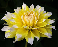 Things I Love Today: Dahlias