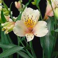 Things I Love Today: Alstroemeria