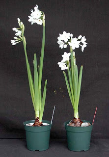 Things I Love Today: Paper Whites