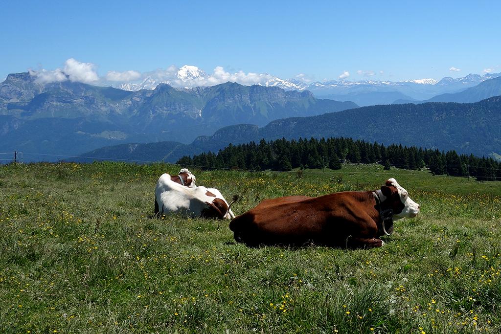 Semnoz Cows