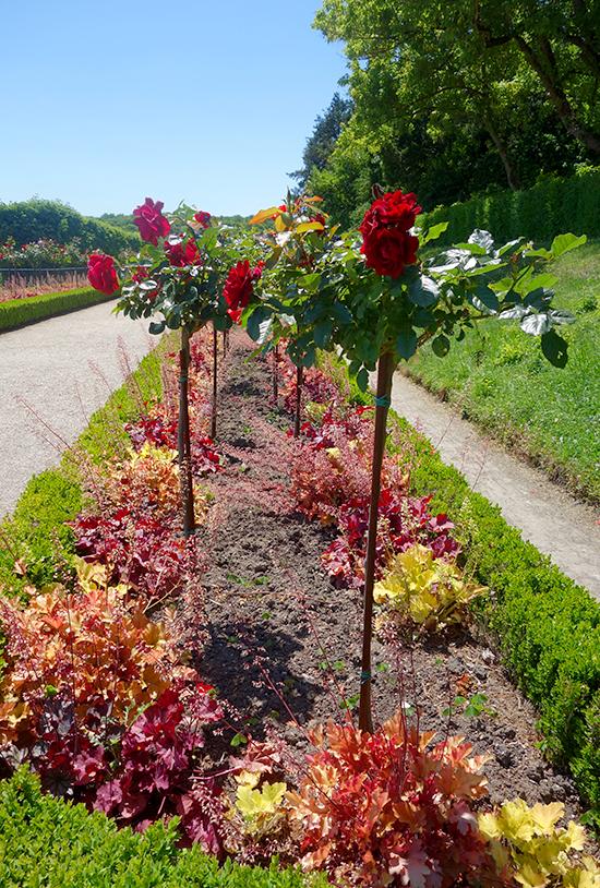 Beautiful beds of roses at Parc Saint-Cloud