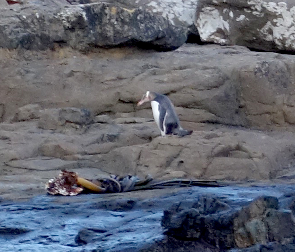 Catlins Penguins, New Zealand