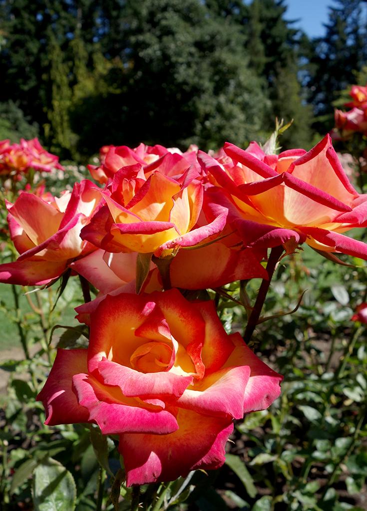 Queenstown Roses