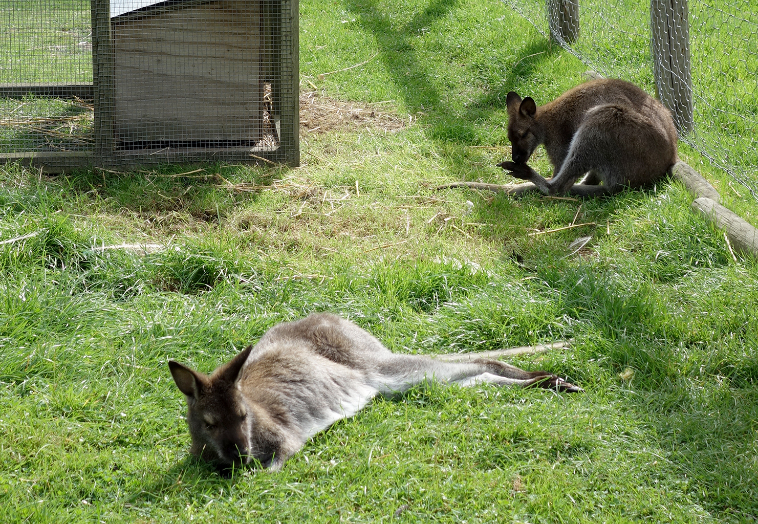 Wallabees in Invercargill