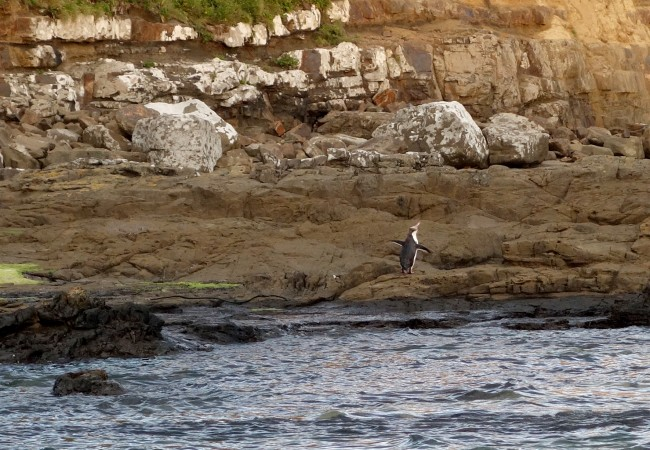 Penguin Spotting in Curio Bay, Catlins, New Zealand
